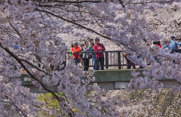 電車の中からも見える桜並木(C)日刊ゲンダイ