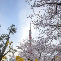 東京の春が一度に見えた<芝公園>