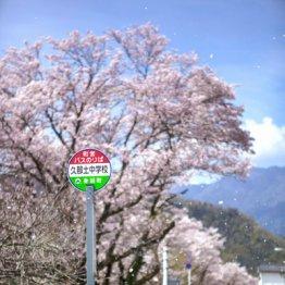 あるのは満開の桜だけ<山梨県 身延町久那土>