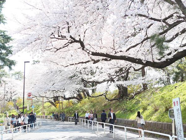 桜の開花情報が転機(C)日刊ゲンダイ