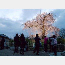 京都・円山公園の夜桜(C)日刊ゲンダイ
