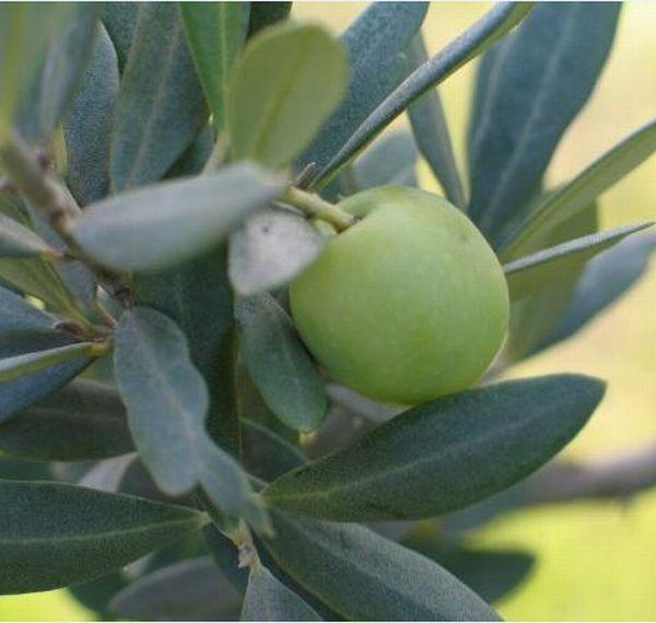 使用するオリーブ果実は南フランス産のみ(提供)株式会社ビアンネ
