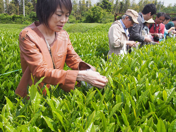 10月末までお茶の葉を摘みとれる(C)日刊ゲンダイ
