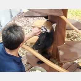 生レッサーパンダに大接近