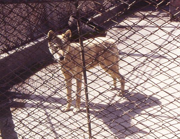 中国・ハルビン動物園のオオカミ(C)日刊ゲンダイ