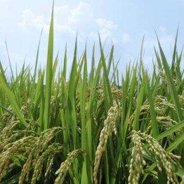【コメ】27年より28年産米が3.7%高い