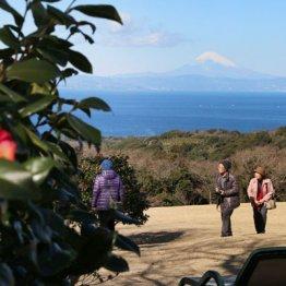 椿と富士山の競演(椿花ガーデン)