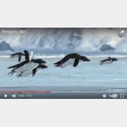 ペンギンが…(ユーチューブから)