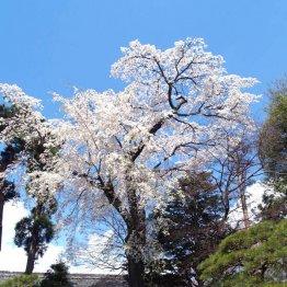 田中本家博物館内の枝垂れは樹齢250年(C)日刊ゲンダイ