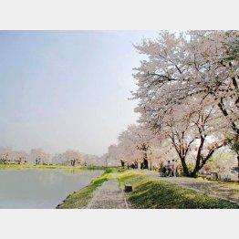 池の周りに約200本が(喜多の郷)/(提供写真)
