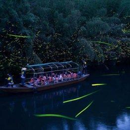 ホタル舟が大人気