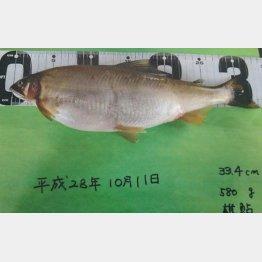 体長33.4センチ、重さ580グラムの巨大アユ(C)日刊ゲンダイ