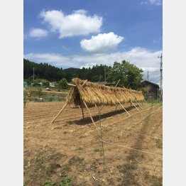 麦を刈って天日に干す(C)日刊ゲンダイ