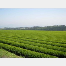 ドローンの利用を始める大分県臼杵市の茶畑(提供写真)