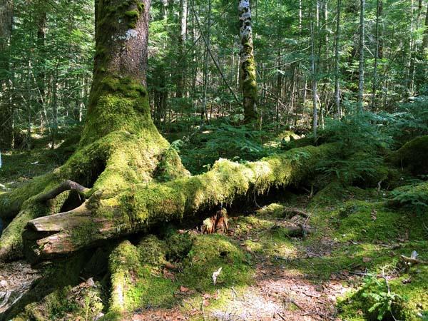 白駒の池周辺の苔の森、標高は2100メートル以上(C)日刊ゲンダイ