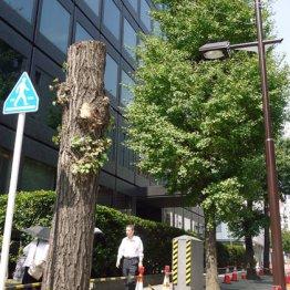 【電柱ゼロ化】 エコ標榜し由緒ある樹木伐採の自己矛盾