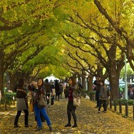 全国各地に名所あり なぜ街路樹はイチョウが多いのか?