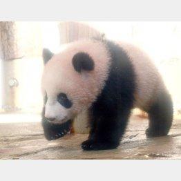 上野動物園のシャンシャンは熱狂的人気(C)日刊ゲンダイ