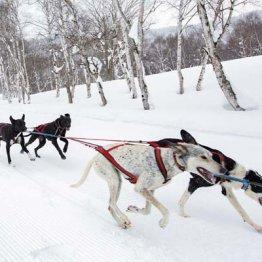 家族で遊ぶ 「水上高原スキーリゾート」で本格犬ぞり体験