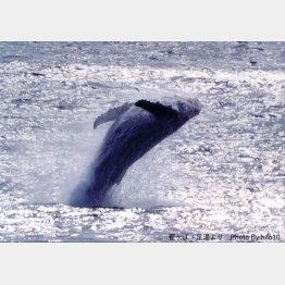 ザトウクジラ(C)廣戸義和
