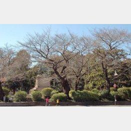 原木の可能性がある上の公園の桜(C)日刊ゲンダイ