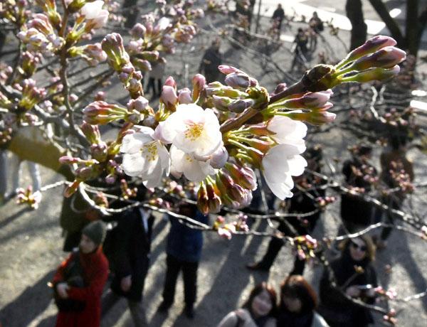 東京・靖国神社境内で開花した標本木のソメイヨシノ(C)共同通信社