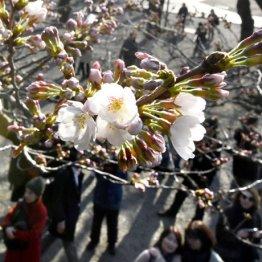 桜の開花宣言「標本木」の基準は何? 気象庁に聞いた