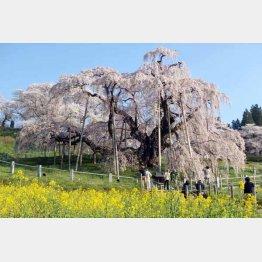 三春・滝桜(提供写真)