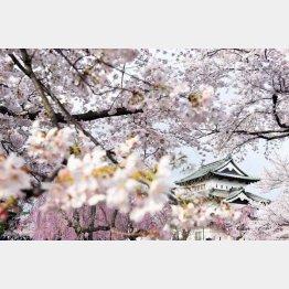 満開の桜と弘前城の天守閣(C)共同通信社
