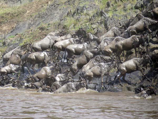 川を渡る数万頭のヌーの群れ(提供写真)