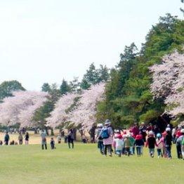 2000人もの来場者 コースを開放する観桜イベントが大人気