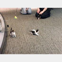 """かわいい子猫を""""警察猫""""に(トロイ警察署のツイッターから)"""
