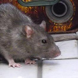 はたしてネズミの冤罪は晴れるのか