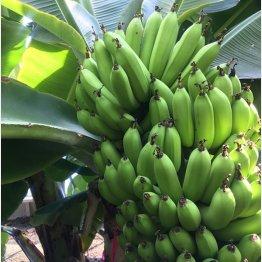 常識を覆す「もんげー」なバナナ(提供)みんなの大家さん販売株式会社