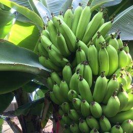 話題沸騰 皮ごと食べられる「奇跡のバナナ」の正体<前編>