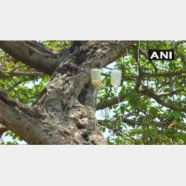 枝に点滴注射の装置が取り付けられた写真(ANI通信のツイッターから)