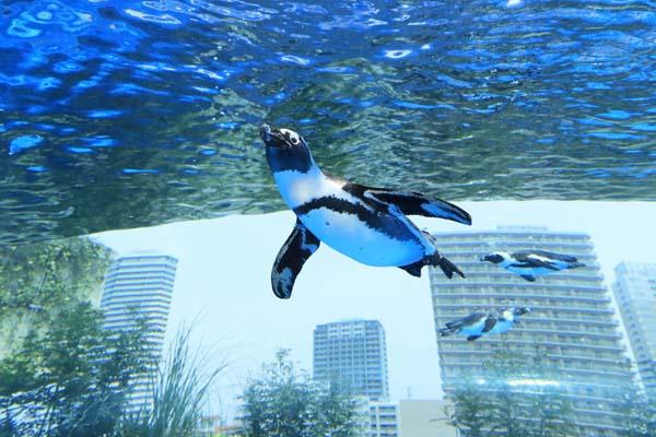 天空を泳ぐペンギン(提供写真)