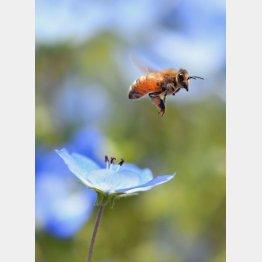ミツバチとネモフィラ(C)日刊ゲンダイ