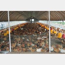 中国上海市松江区の養鶏場で飼われている食用のニワトリ(C)共同通信社