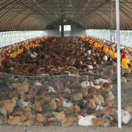抗生物質を与えると鳥が早く太る