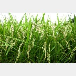 コメや麦の種を守る「種子法」が廃止された(C)日刊ゲンダイ