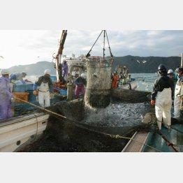 福井県美浜町の日向沖で行われた定置網漁(C)共同通信社