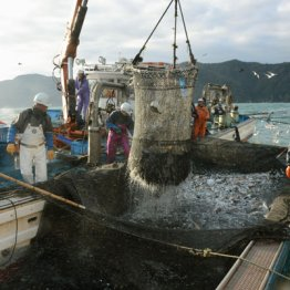 福井県美浜町の日向沖で行われた定置網漁