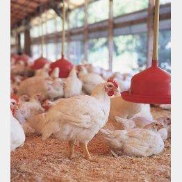 鶏肉も鶏卵も無投薬(秋川牧園提供)