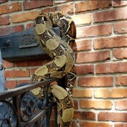 郵便職員も警察官も仰天…大蛇が米カンザス州郊外の住宅に