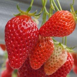 ロームのイチゴは収量10倍 アグリビジネスで成功する企業
