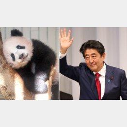 困ったときのパンダ(上野動物園で生まれたシャンシャン)/(C)日刊ゲンダイ