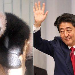 困ったときのパンダ(上野動物園で生まれたシャンシャン)