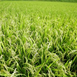 外国籍の種子企業参入 農薬まみれの米が日本にあふれる?