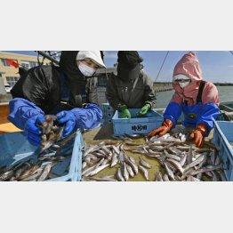 水揚げされたシシャモを仕分けする漁業関係者(C)共同通信社